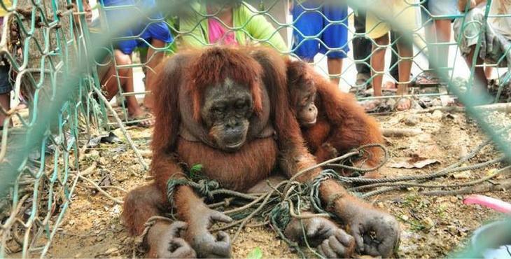 orang-outan-torture-borneo-7
