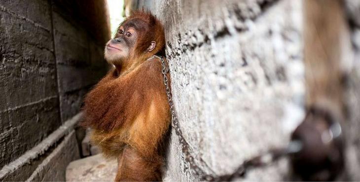 orangutan_mingky_rescue_cover
