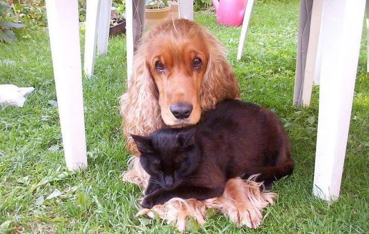 cute-coker-spaniel-black-cat_720
