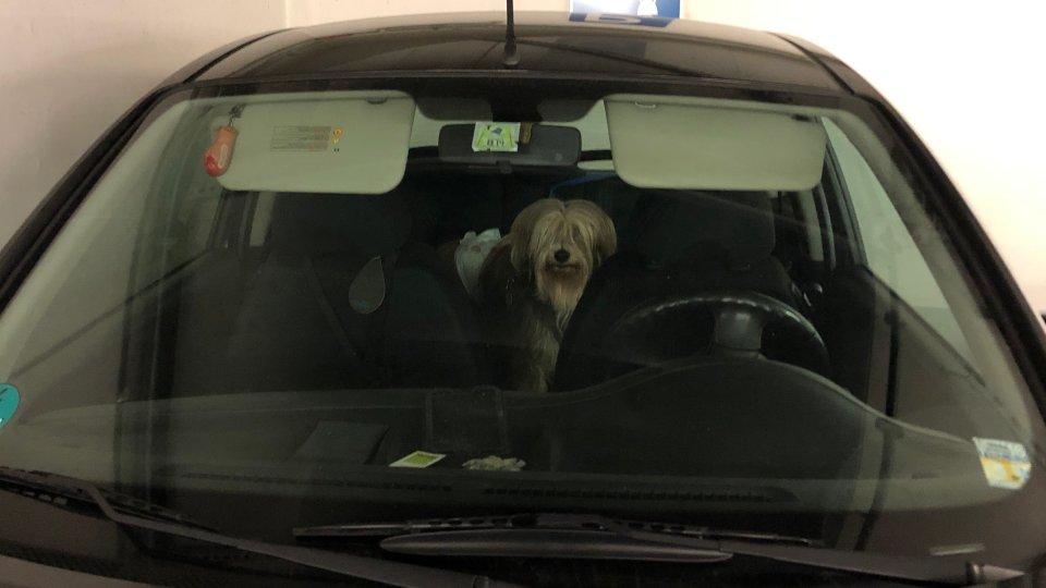 Hund mit Windel im Auto