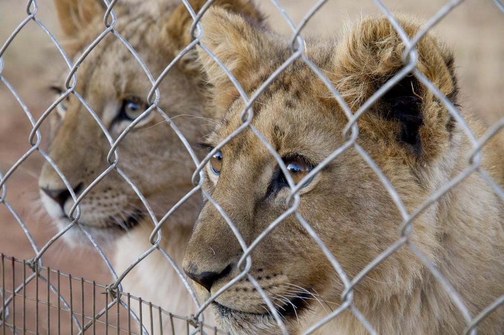 blood-lion-1