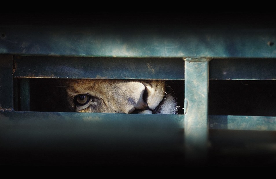 blood-lion-3