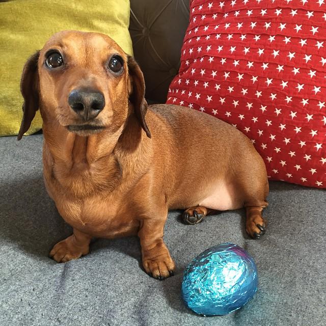 dog-chocolate-4