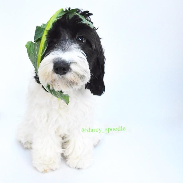 dog-spinach