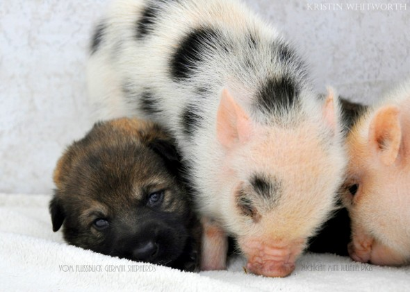 Dogs And Pigs Are BFFs - Here's Proof In 11 Pictures