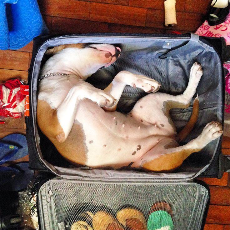Bull-Terrier-sleeping-16
