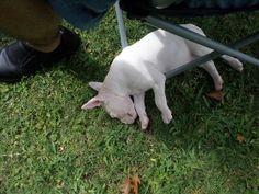 Bull-Terrier-sleeping-17