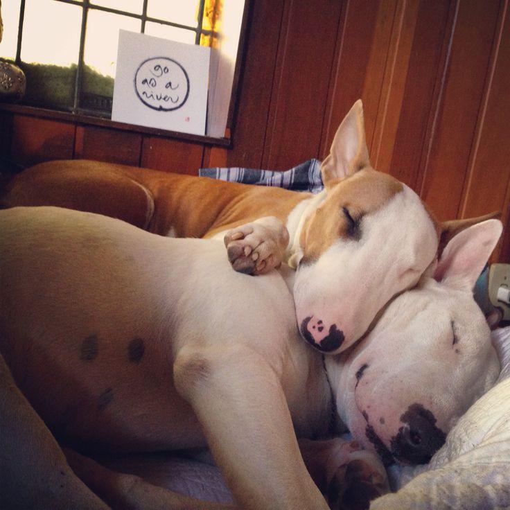 Bull-Terrier-sleeping-19