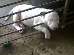 Bull-Terrier-sleeping-3