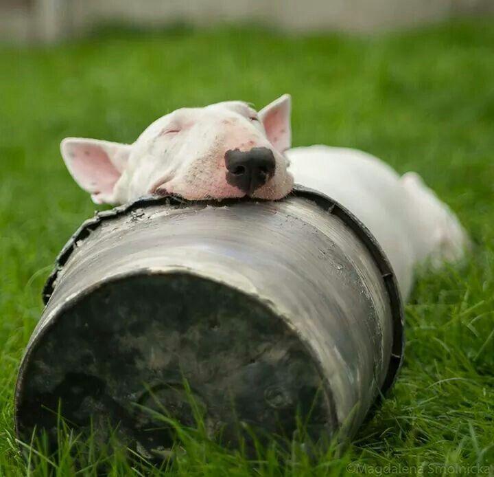 Bull-Terrier-sleeping-4
