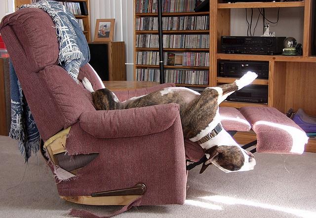Bull-Terrier-sleeping-7