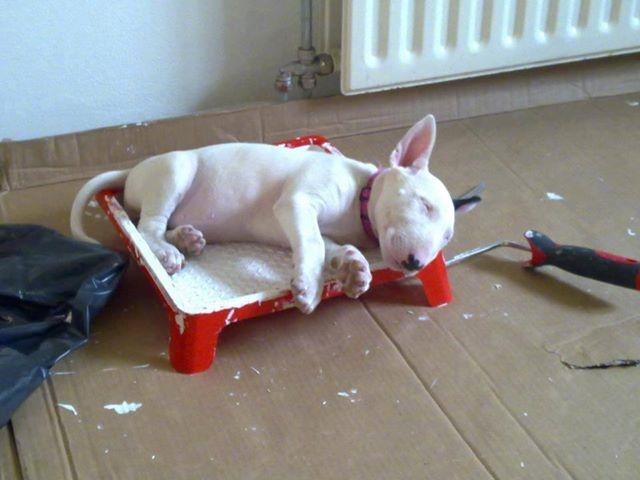 Bull-Terrier-sleeping-8