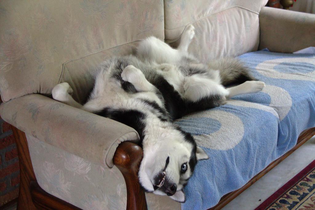 Husky-position-7