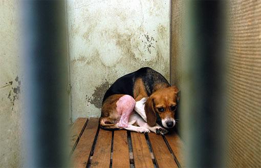 beagle-dog-1
