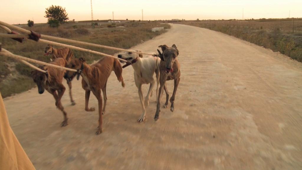 Galgos-Greyhound-chasse-11