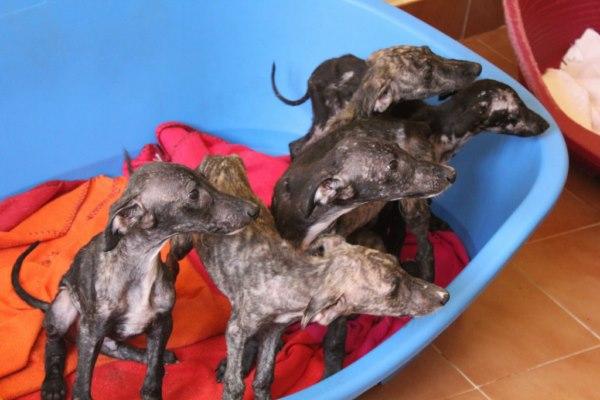Galgos-Greyhound-chasse-12