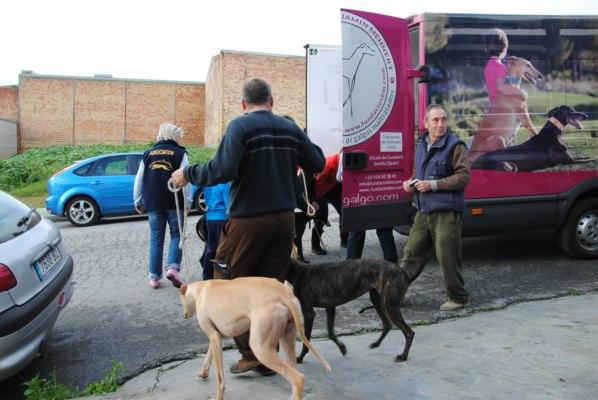 Galgos-Greyhound-chasse-14