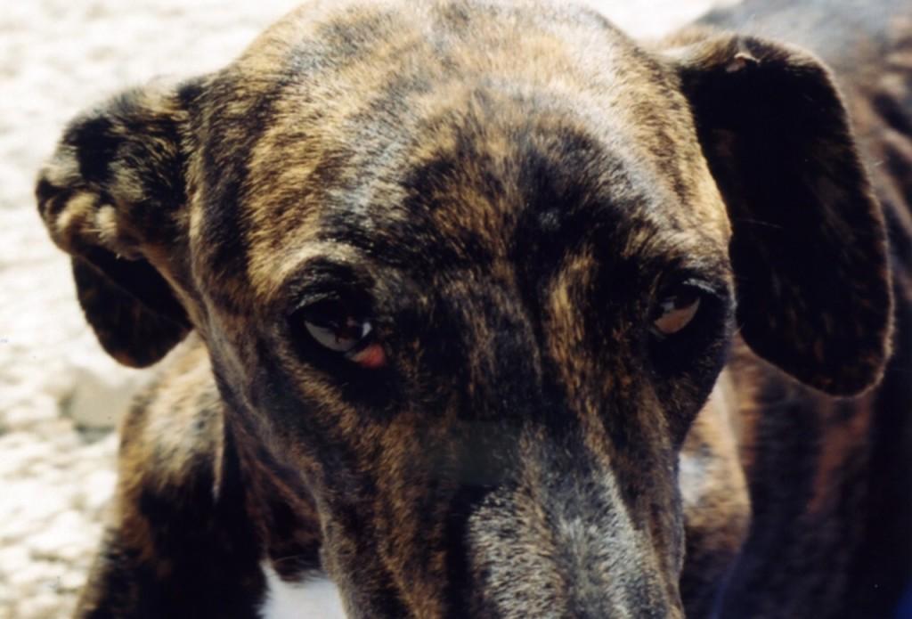 Galgos-Greyhound-chasse-9