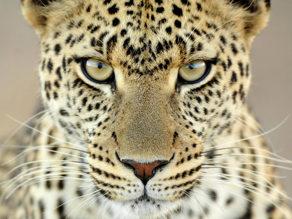 South-africa-leopard-ban-2