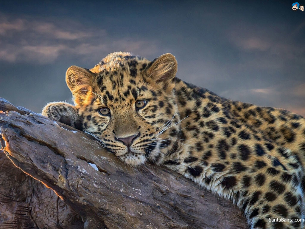 South-africa-leopard-ban-3