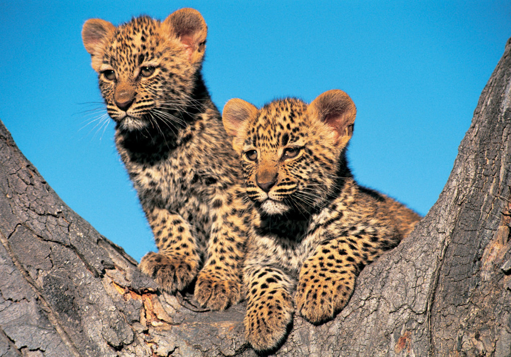South-africa-leopard-ban-8