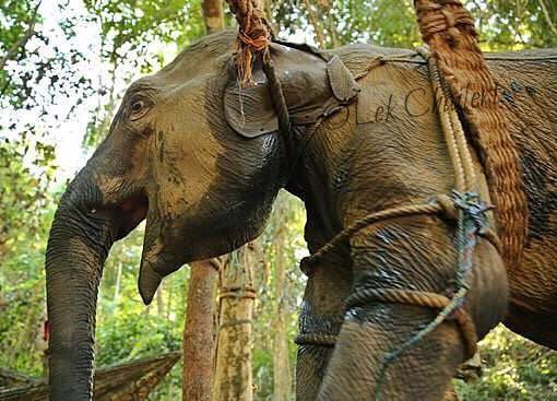 elephant-torture-entrainement-1