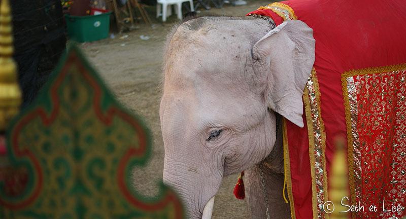elephant-torture-entrainement-19