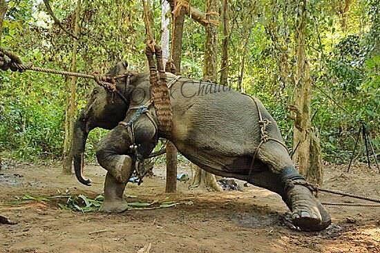 elephant-torture-entrainement-4