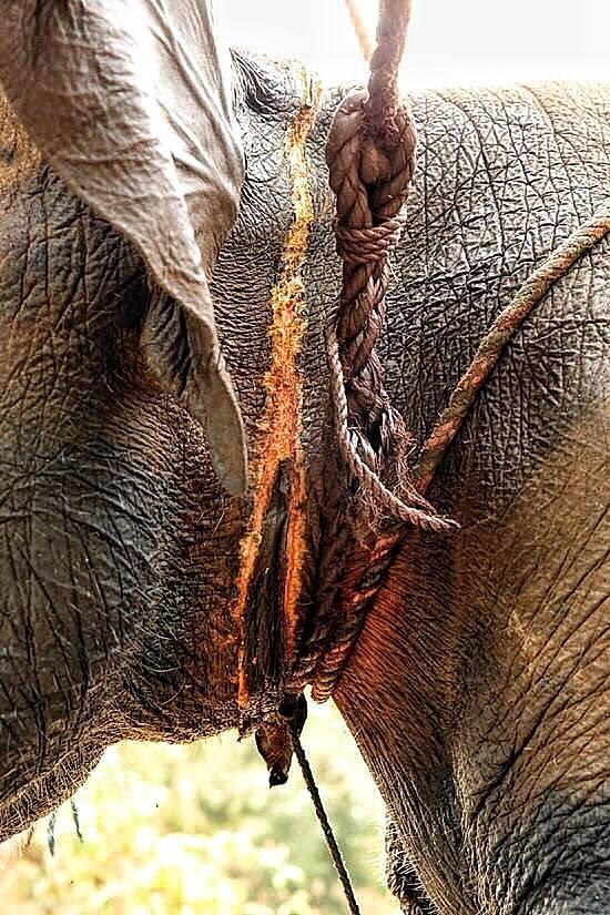 elephant-torture-entrainement-7