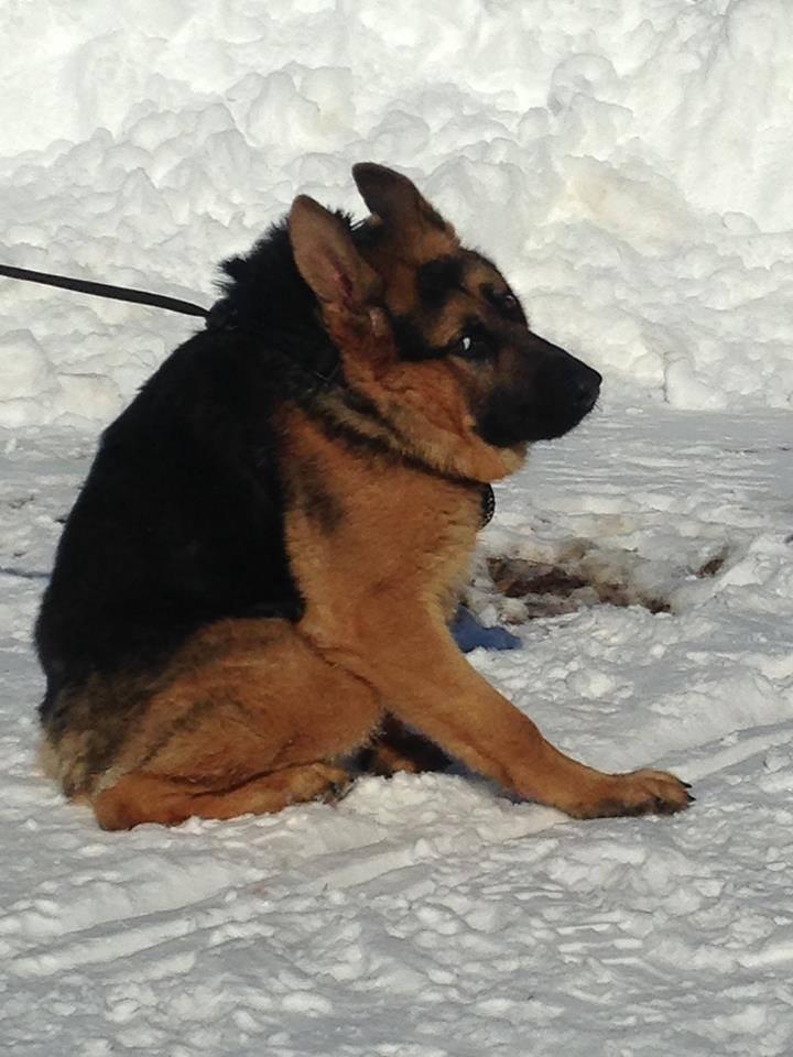Quasimodo-german-shepherd-4