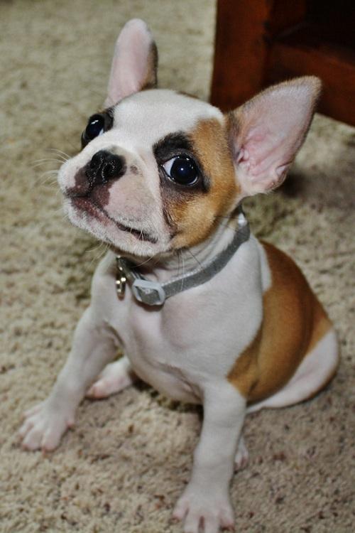 bulldogs-breeds-11