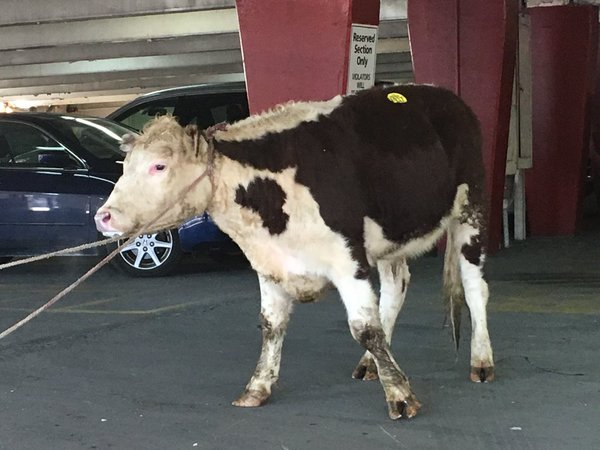 cow-new-york-city-1