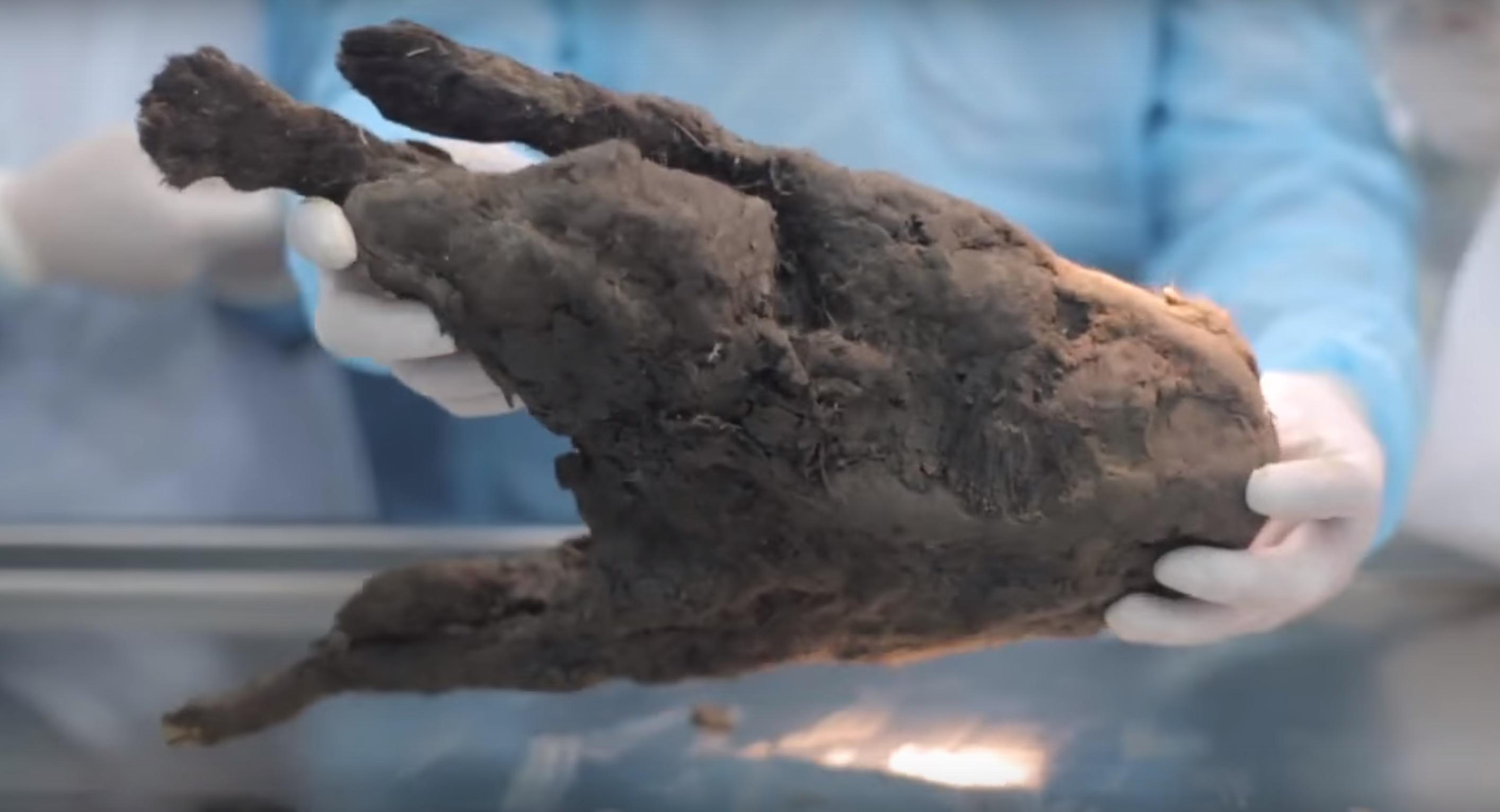 autopsie-chien-sibérie-7