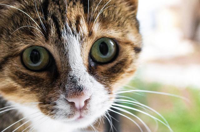 chaton-gros-plan-portrait-comportement