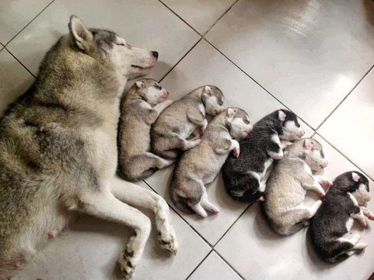 husky-family-dog-cute