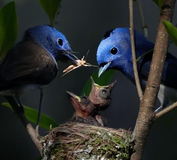 oiseaux-bleus-famille-