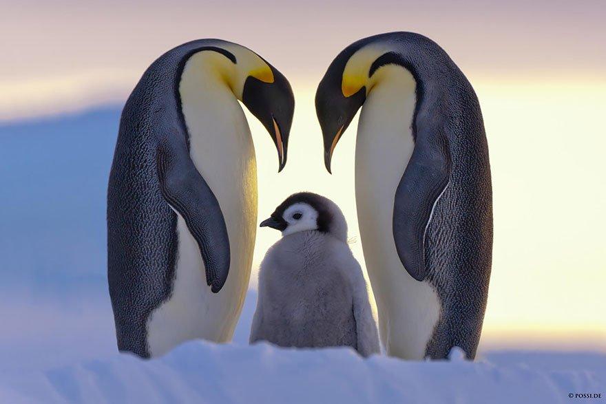 pingouin-famille