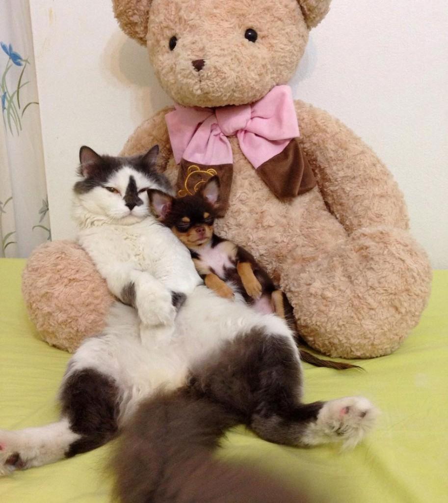 richie-cat-chihuahua-5