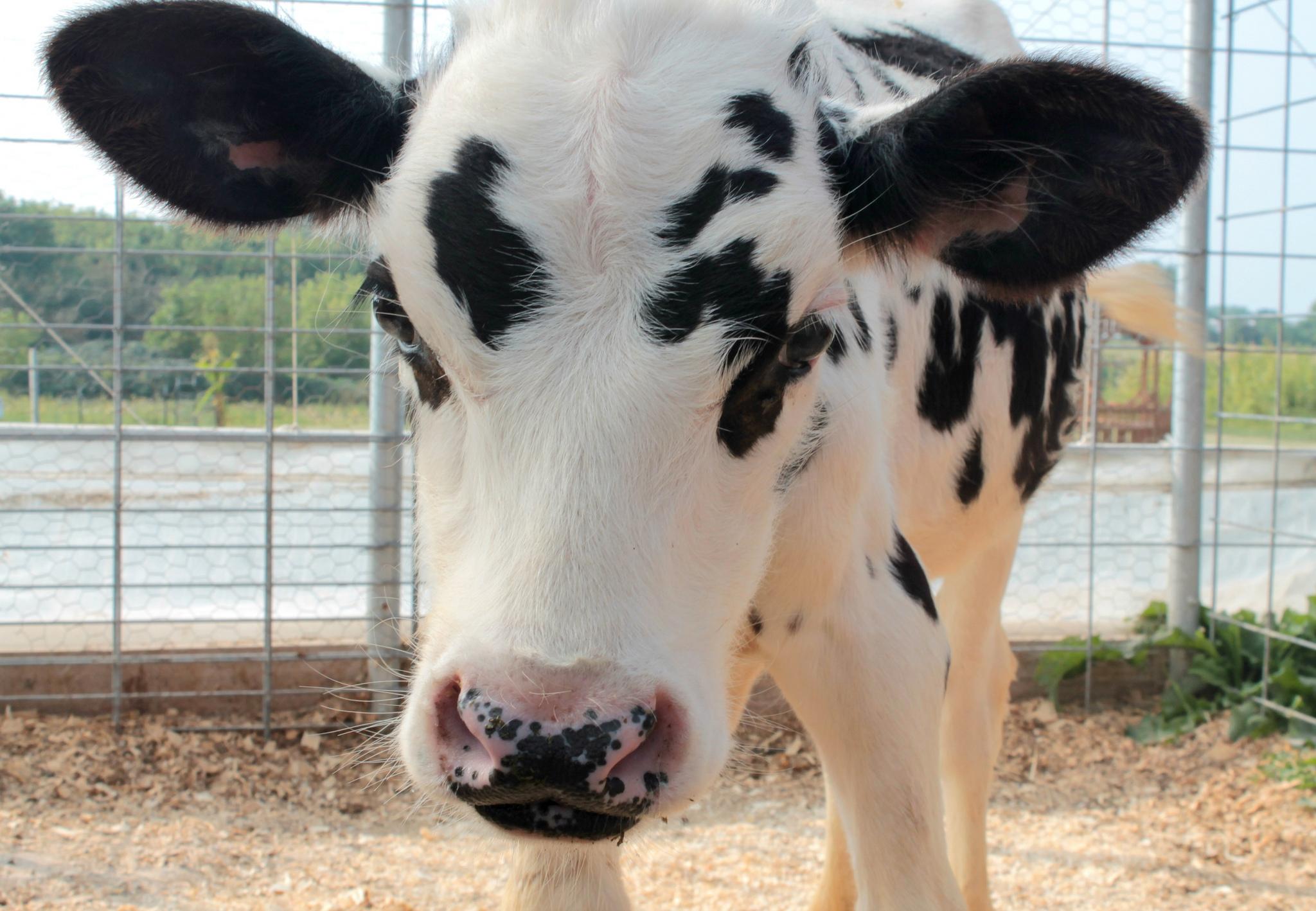 vache-veggie-3