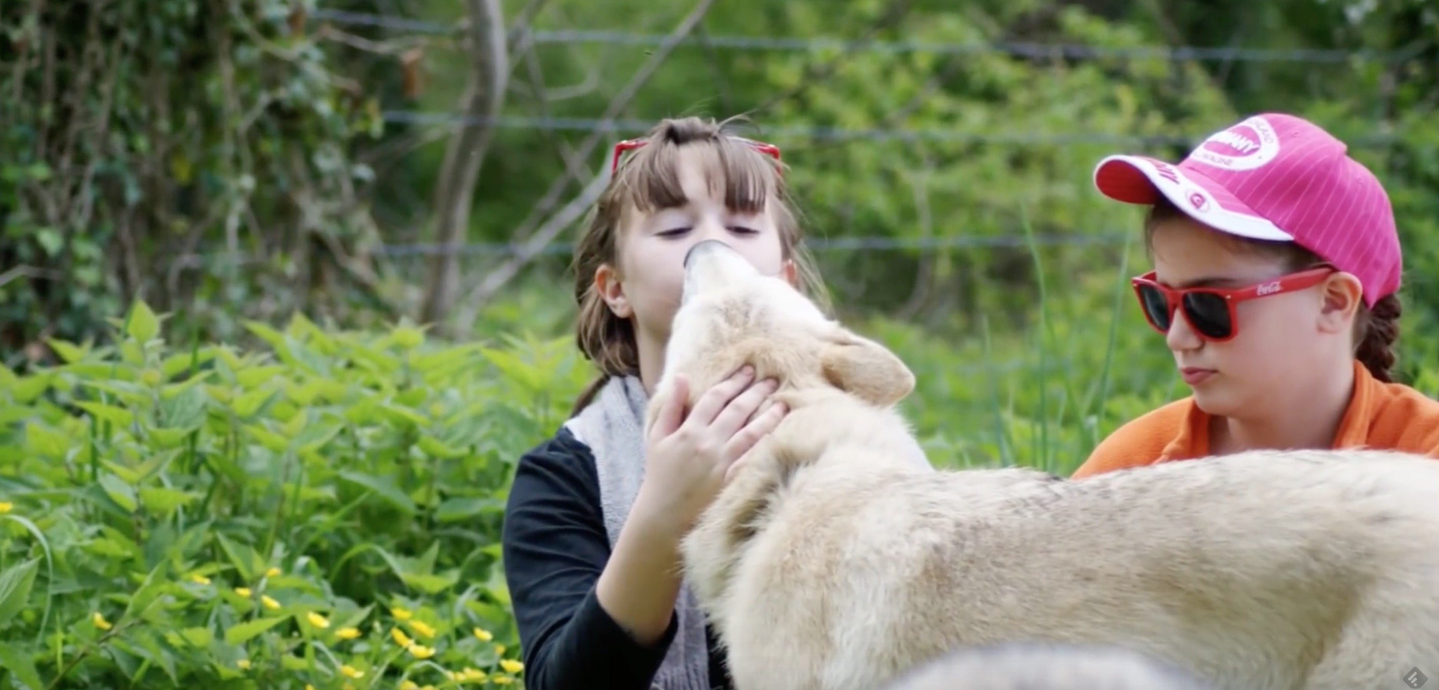 chiens-loups-condamne-france-3