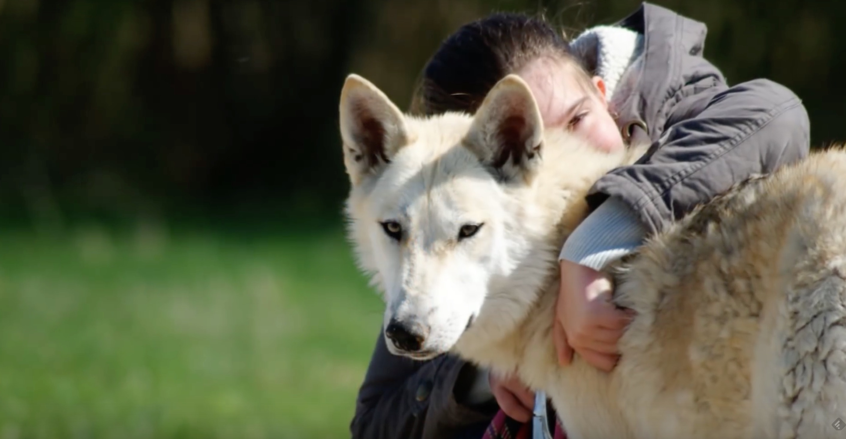 chiens-loups-condamne-france-5