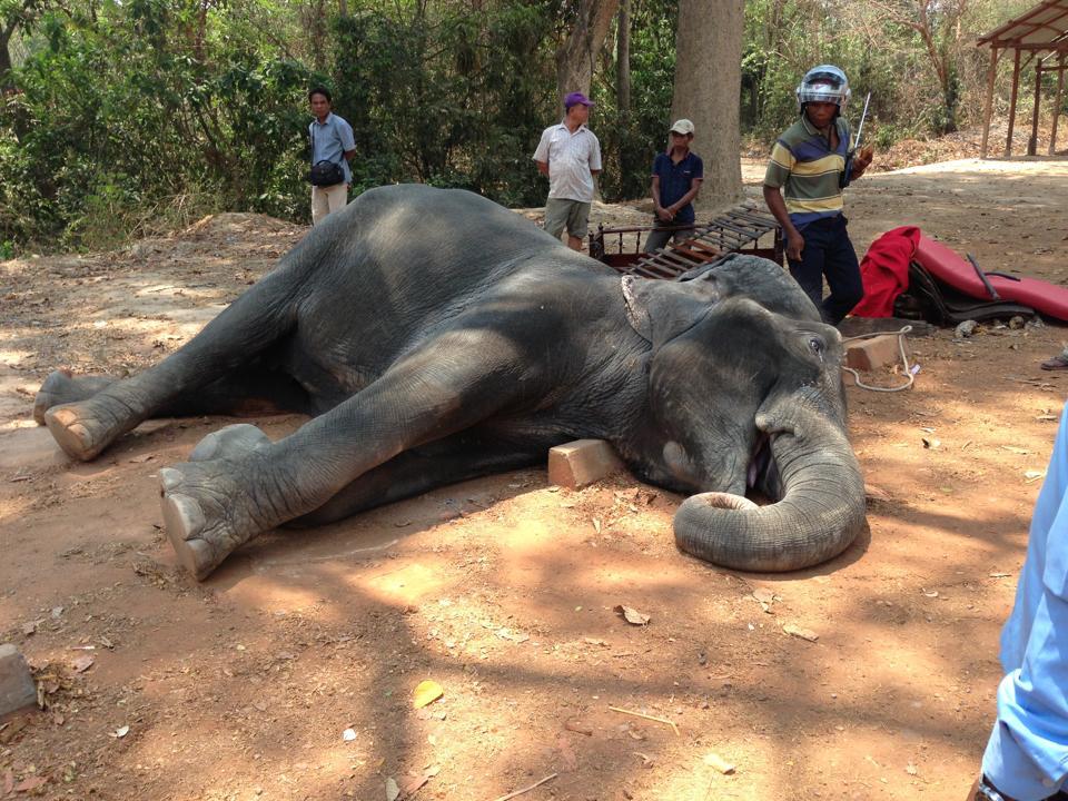 elephant-cambodge-epuisement-7