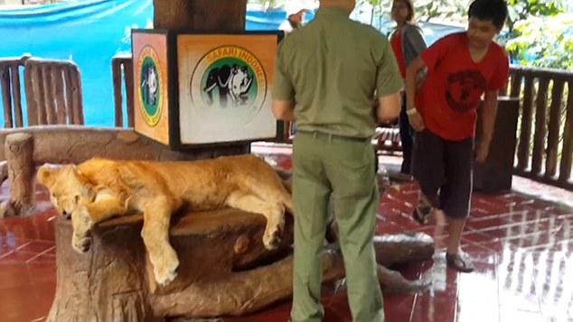lion-sedatif-indonesie-tamaran-8