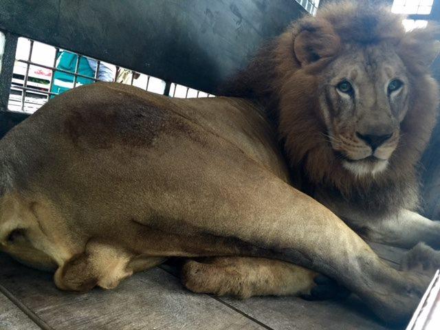33-lions-sauvetage-refuge-aid-4