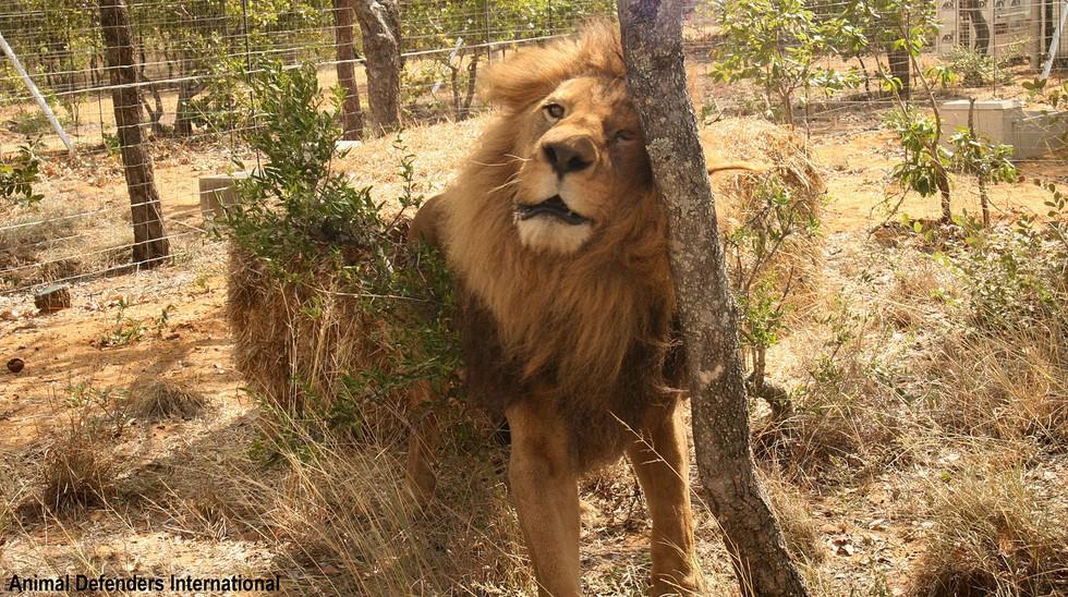 33-lions-sauvetage-refuge-aid-5