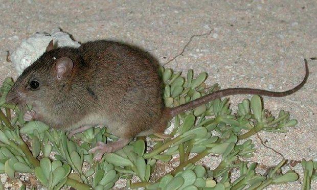 Melomys-rubicola-extinction-4