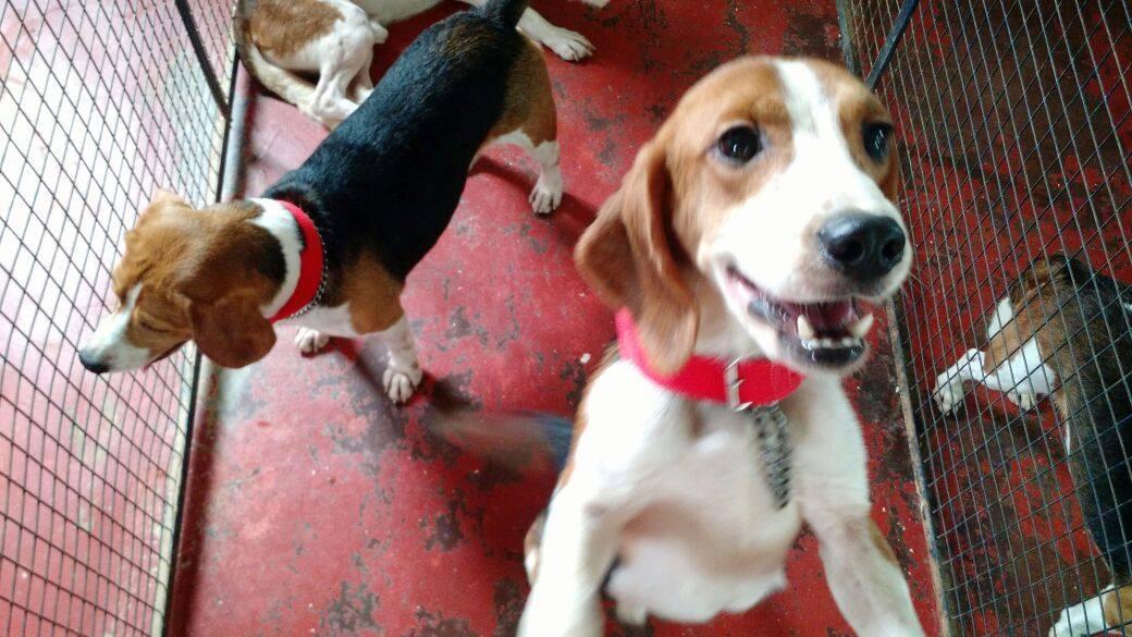 beagles-premier-bain-3