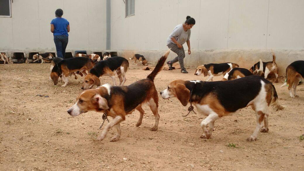 beagles-premier-bain-4