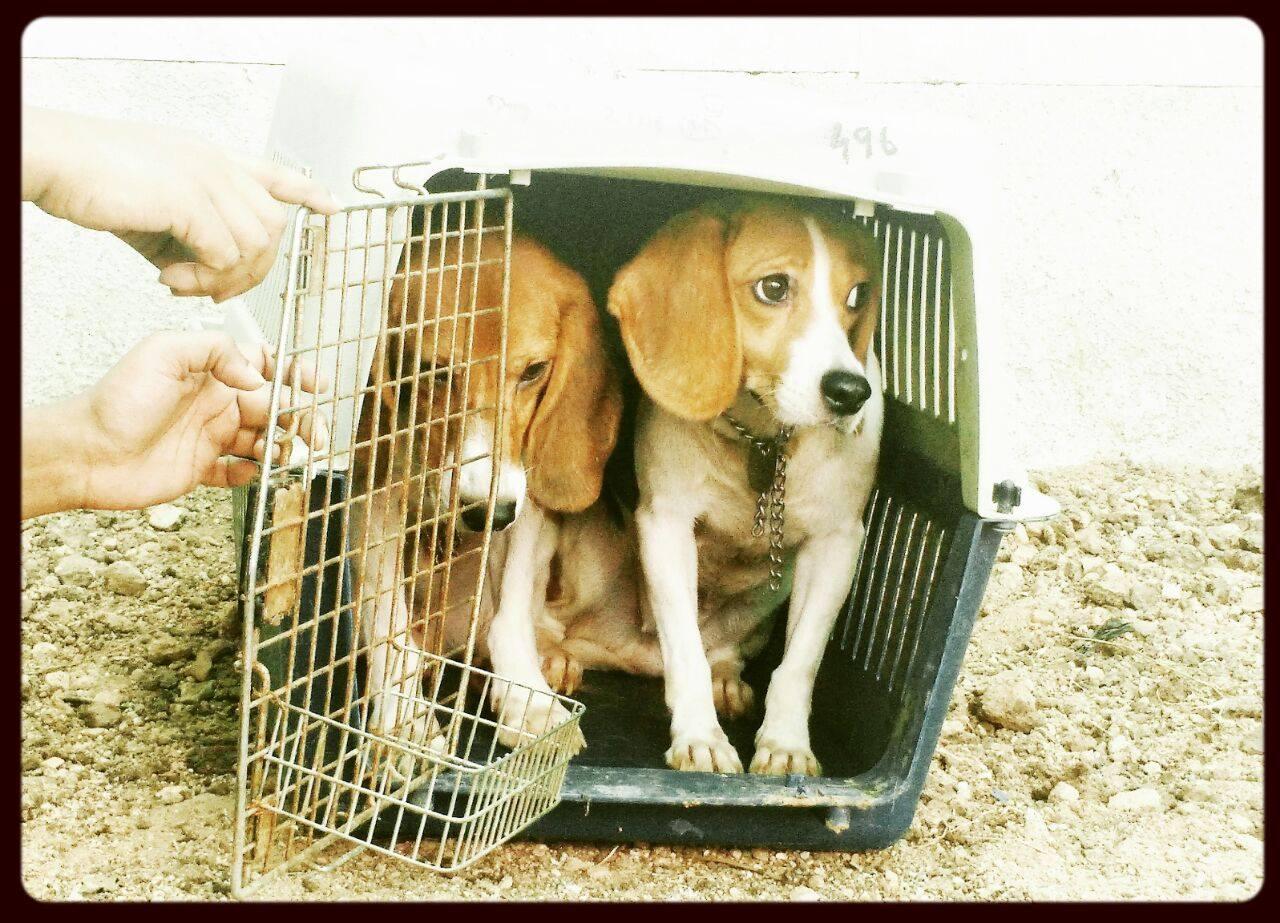 beagles-premier-bain-5