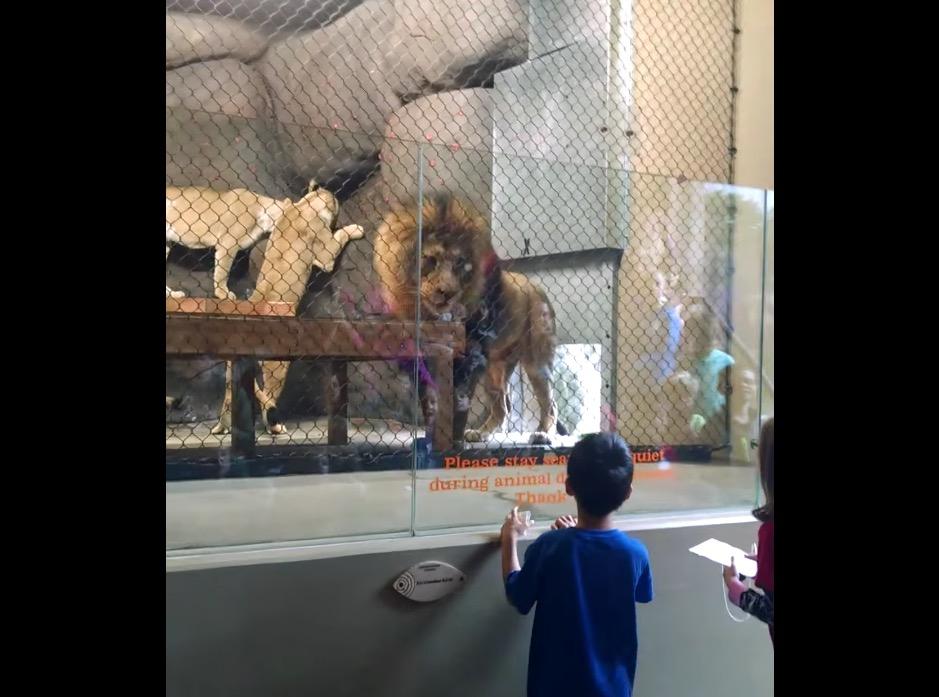 lion-oregon-zoo-accident-2